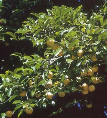 muscadier arbre